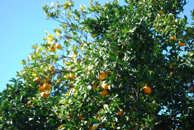 orange tree close up