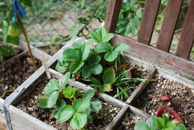 lackluster strawberries