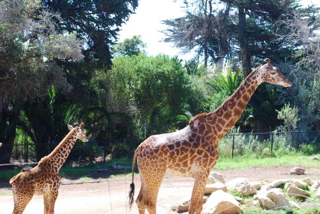 giraffe mama and baby