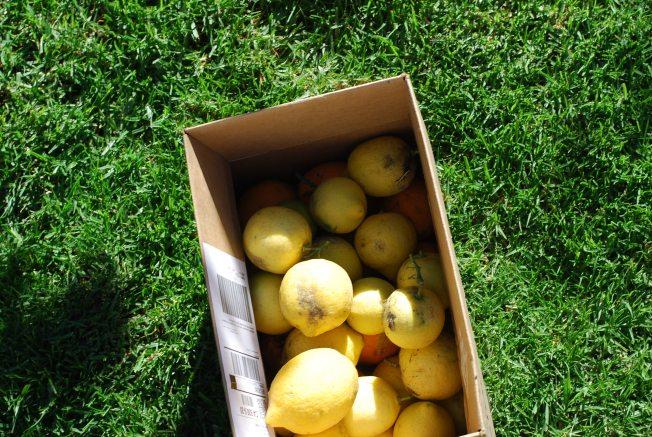 lemons galore!