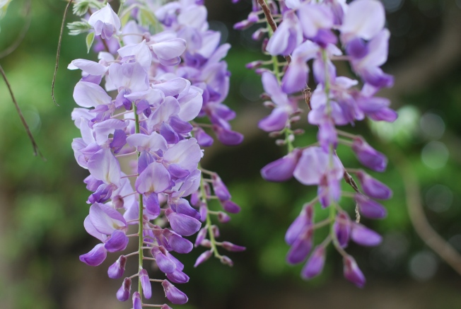 wisteria blooms