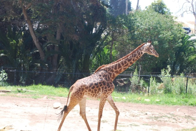 giraffe runs