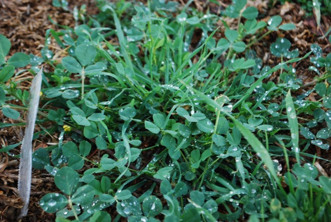clover with dew